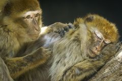 Macaques on a Tree Caring. Macaques on a Tree. Mother and child sleeping, looking sad Stock Photography