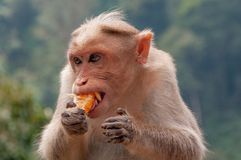 Rhesus macaque with long canines enjoying a tangerine segment in Kerala India. These macaques were everywhere, and they loved their fruity treats royalty free stock photo