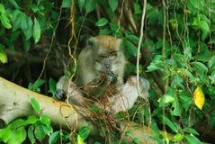 macaquesaap met lange staart Stock Foto's