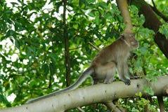 macaquesaap met lange staart Stock Fotografie