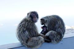 Macaquesapafamilj royaltyfri foto