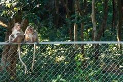 Macaquesapen bovenop een draadomheining die worden gezeten Royalty-vrije Stock Afbeeldingen