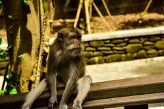 Macaquesapen in het heilige aapbos in Ubud Bali Indonesië stock foto's