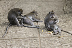 Macaquesfamilj som ansar sig Arkivbilder
