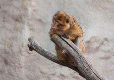 Macaquestående Arkivfoton