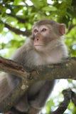 macaquetreetop Fotografering för Bildbyråer