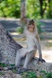 Macaqueuppehälle i nationalpark Arkivbilder