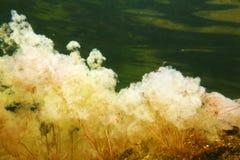 黄色Macarenia clavigera 免版税库存图片