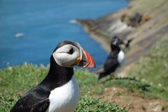 Macareux atlantique - île de Skomer Photo stock