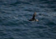 Macareux atlantique Photographie stock libre de droits