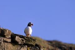 Macareux atlantique Photo libre de droits