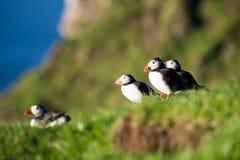 Macareux atlantique, arctica de fratercula image libre de droits