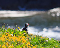 Macareux atlantique (arctica de Fratercula) sur le dessus de falaise Photo stock