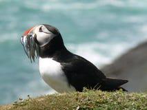 Macareux atlantique avec des équilles Image libre de droits