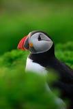 Macareux atlantique dans le feuillage vert Image libre de droits