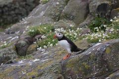 Macareux atlantique et x28 ; Arctica& x29 de Fratercula ; position sur une roche Île de mai, Ecosse Photos stock