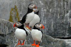 Macareux atlantiques Photos libres de droits