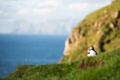 Macareux atlantiques, arctica de Fratercula photo stock