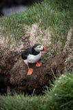 Macareux islandais photographie stock libre de droits