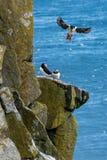 Macareux islandais regardant au-dessus de l'océan Image stock