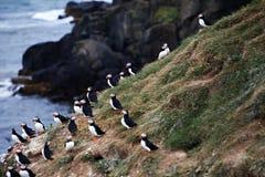 Macareux sur la falaise islandaise photo stock