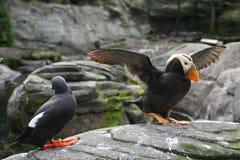 Macareux tufté, et Guillemot de pigeon photographie stock libre de droits