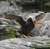 Macareux tufté, et Guillemot de pigeon photo stock