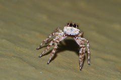 Macaroeris nidicolens is a species of jumping spider that occurs Stock Photos