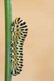 Macaron在分支的蝴蝶蠕虫 免版税库存图片