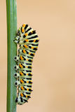 Macaron Butterfly worm on branch Royalty Free Stock Images