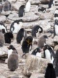 Macaroni Penguin, Eudyptes chrysolophus, Sounder Island, Falkland Islands-Malvinas Royalty Free Stock Image