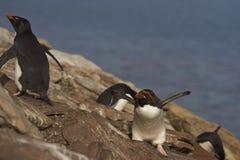 Macaroni Penguin - Falkland Islands Stock Photo