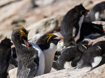 Macaroni penguin pair with rockhoppers Royalty Free Stock Image