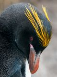 Head of adult Macaroni Penguin, Cooper Bay, South Georgia stock photo