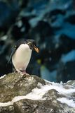 Macaroni Penguin standing on snowy Stone and Looking Down Stock Photography