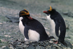 Macaroni Penguins Royalty Free Stock Photography