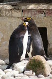 Macaroni Penguins Stock Photo