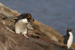 Macaronipinguïn - Falkland Islands royalty-vrije stock foto's