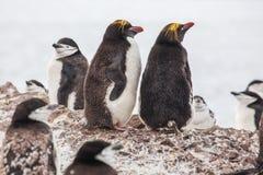 Macaronipinguïnen met Chinstrap-pinguïn die op de kust lopen royalty-vrije stock foto