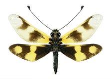 Macaronius d'Ascalaphus Libelloides (femelle) photos stock