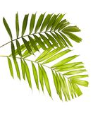 Macarthur palm leaves or Ptychosperma macarthurii, Tropical foliage isolated on white background with clipping path. Macarthur palm leaves or Ptychosperma stock images