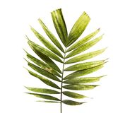 Macarthur palm leaves or Ptychosperma macarthurii, Tropical foliage isolated on white background with clipping path. Macarthur palm leaves or Ptychosperma stock photos