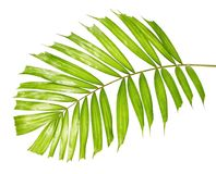Macarthur palm leaves or Ptychosperma macarthurii, Tropical foliage isolated on white background. With clipping path Stock Images