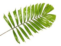 Macarthur palm leaves or Ptychosperma macarthurii, Tropical foliage isolated on white background. With clipping path stock photo