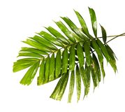Macarthur palm leaves or Ptychosperma macarthurii, Tropical foliage isolated on white background with clipping path. Macarthur palm leaves or Ptychosperma royalty free stock photo