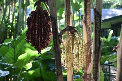 macarthur palma zdjęcie stock