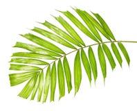 Macarthur-Palmblätter oder Ptychosperma-macarthurii, tropisches Laub lokalisiert auf weißem Hintergrund stockbilder
