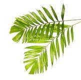 Macarthur-Palmblätter oder Ptychosperma-macarthurii, tropisches Laub lokalisiert auf weißem Hintergrund stockfotos