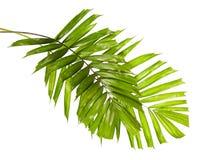 Macarthur-Palmblätter oder Ptychosperma-macarthurii, tropisches Laub lokalisiert auf weißem Hintergrund lizenzfreies stockfoto