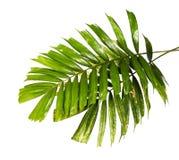 Macarthur-Palmblätter oder Ptychosperma-macarthurii, tropisches Laub lokalisiert auf weißem Hintergrund mit Beschneidungspfad lizenzfreies stockfoto